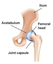 hip joint1