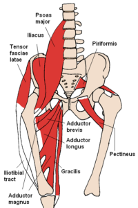 hip muscles 2