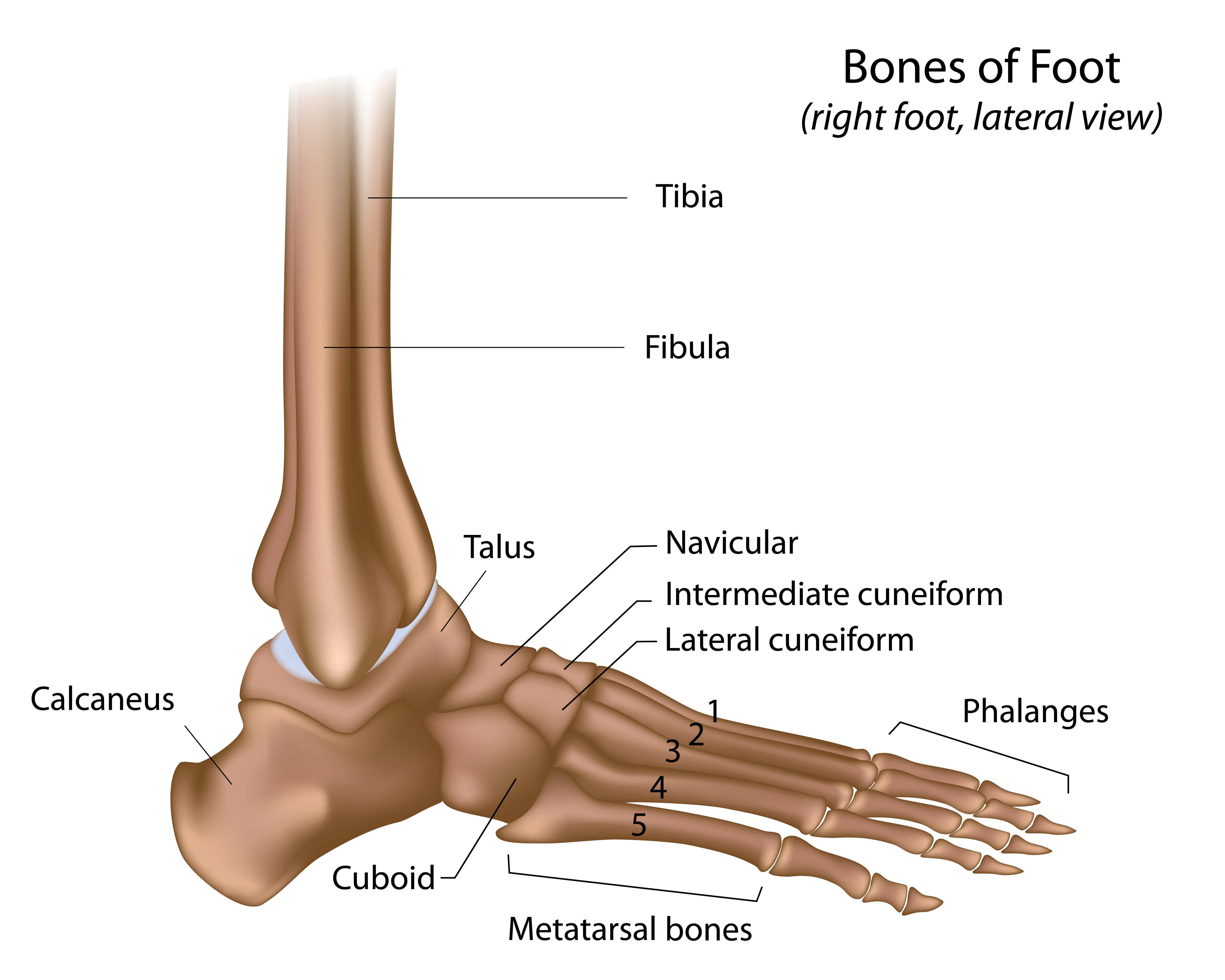 The Ankle Joint Structure Movements Muscles Manual Guide